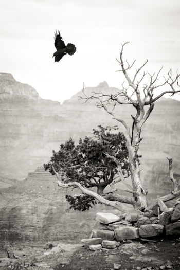 Animal Themes Animal Wildlife Animals In The Wild Bird Bird Of Prey Black And White Day Flying Grand Canyon Grand Canyon National Park Mountain Nature No People One Animal Outdoors Sky Spread Wings Tree