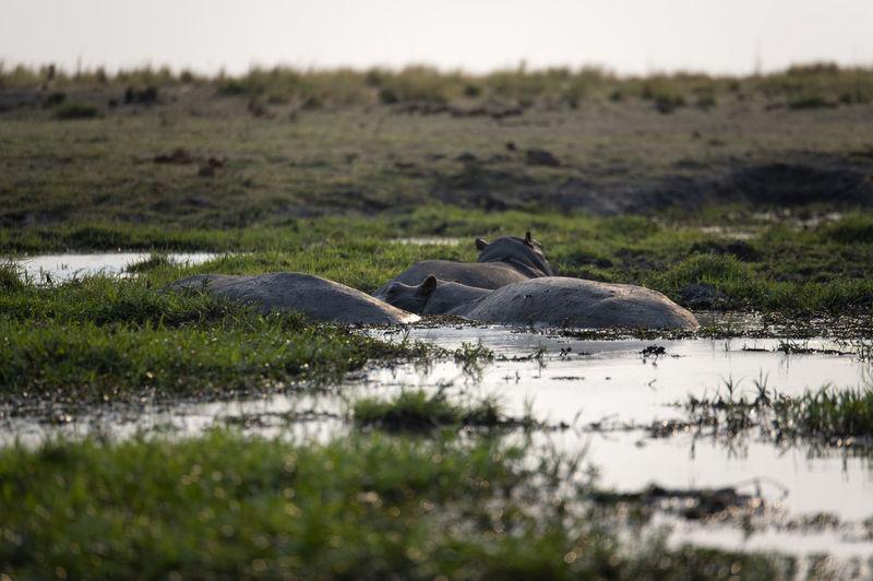 Hippos in a lake