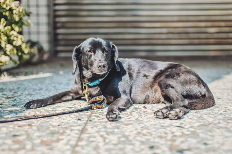Black labrador with leash resting outdoors