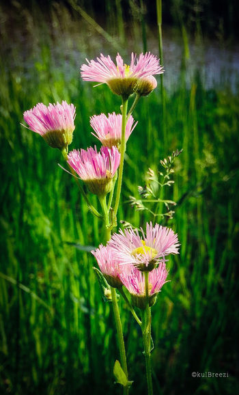 Fringe No People Fieldscape Wildflowers Pink Flowers EyeEm Nature Lover StreamzooVille Afternoon By The River
