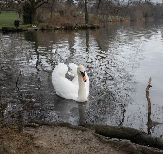 Swan Water Bird Swimming Lake