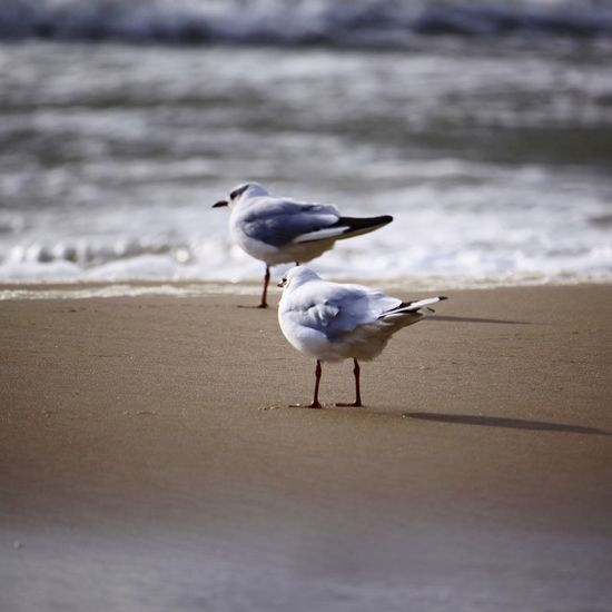 Seagulls Bird Water Beach Perching Seagull Sand Winter Close-up Black-headed Gull Sea Bird Water Bird Swimming Animal