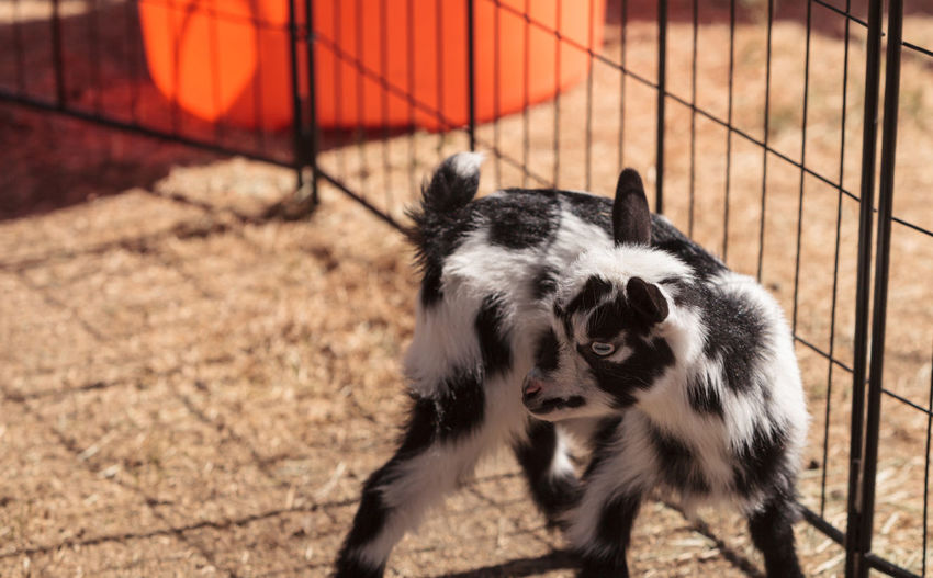 High angle view of kid goat by fence at farm