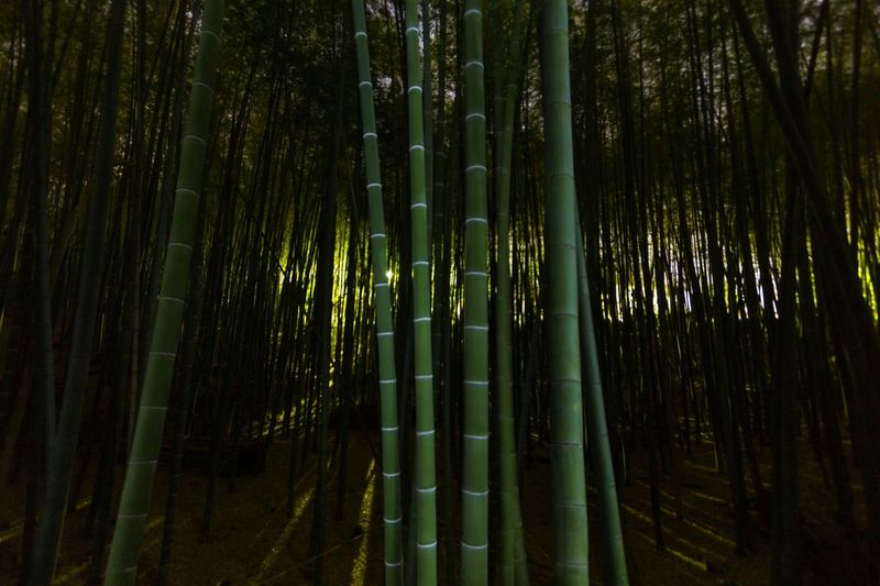 Bamboo forest at night~ Bamboo Bamboo Forest EyeEm Japan Japan Travel JapanLife Night Photography Bamboo Groves Nightphotography