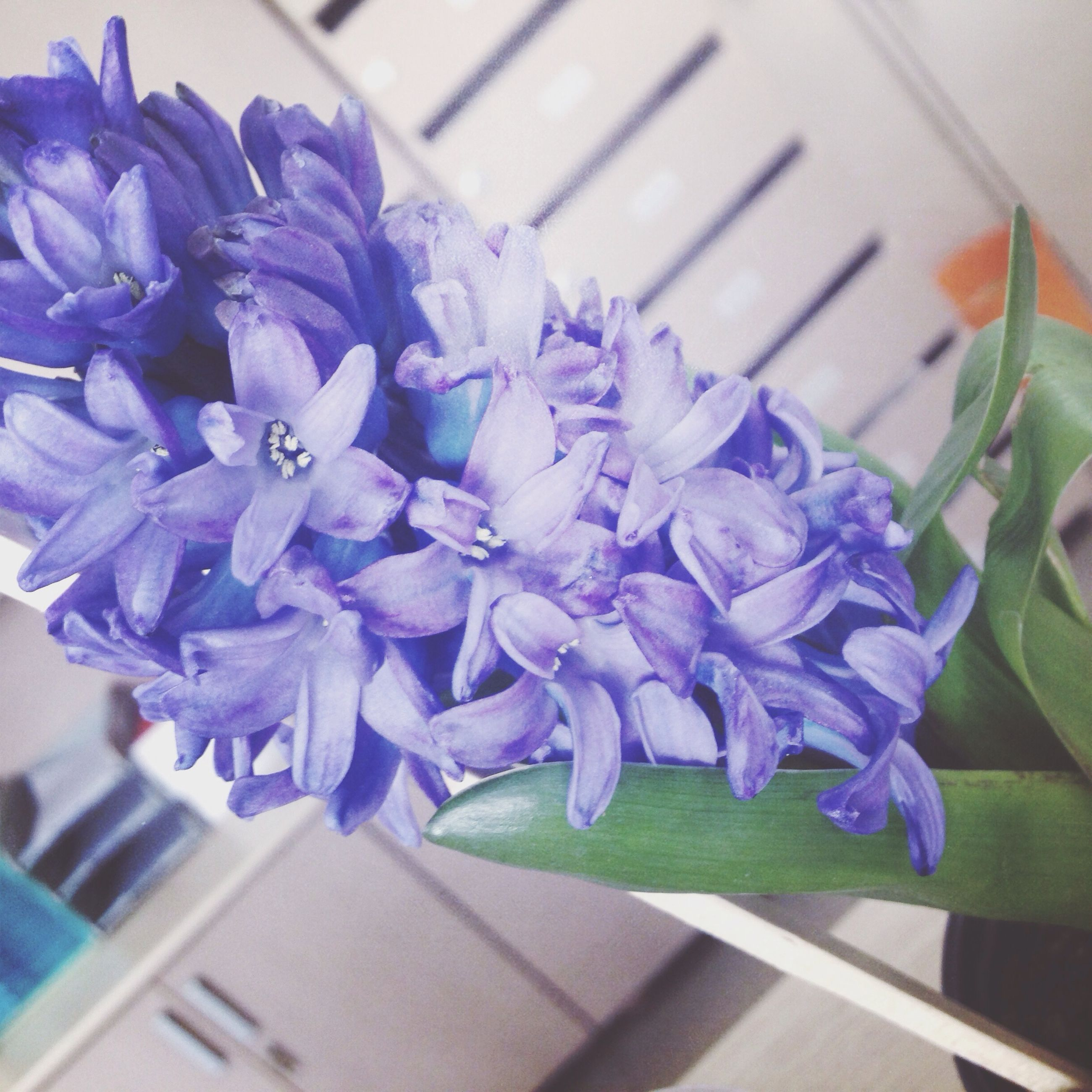 purple, flower, indoors, petal, fragility, close-up, table, freshness, blue, high angle view, flower head, focus on foreground, no people, still life, beauty in nature, selective focus, nature, wood - material, growth, plant