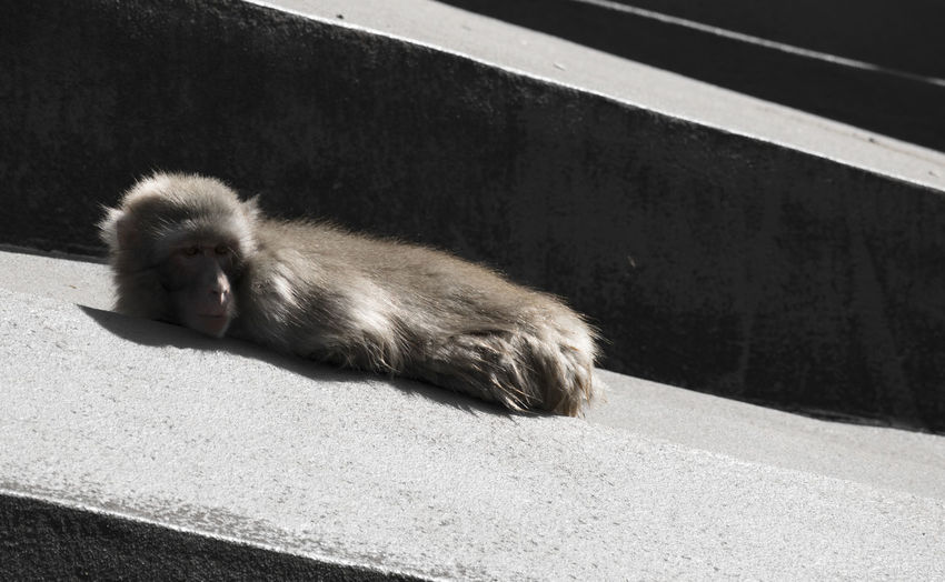 Amsterdam Animal Wildlife Day High Angle View Mammal Monkey Nature No People One Animal Outdoors Primate Railing Relaxation Resting Sunlight Vertebrate Zoology