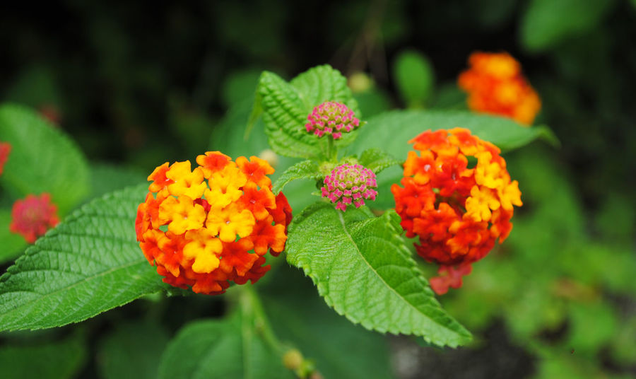 Beauty In Nature Blooming Close-up Day Flower Flower Head Focus On Foreground Fragility Freshness Green Color Growth Lantana Lantana Camara Leaf Nature No People Outdoors Plant