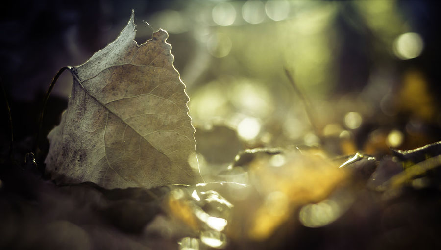 Dry leaf illuminated by the sun Light Autumn Beauty In Nature Change Close-up Day Dry Drying Fall Fragility Leaf Leaves Maple Nature No People Outdoors Selective Focus Shadows