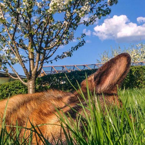 Saturday chill.. Summertime Dog Grass Eye Germanshepard Blossoms  Whatalife First Eyeem Photo Dogslife Animal Dogs
