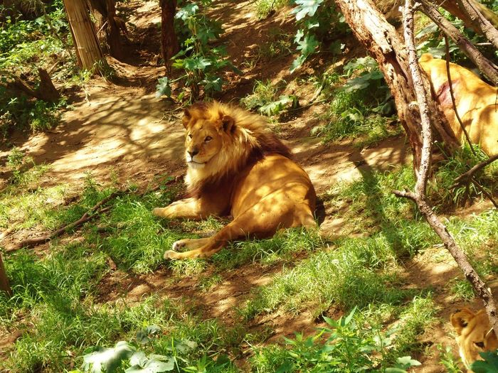 Animal Animales King King Of The Jungle Leon Lion Rey De La Selva Zoo Zoológico