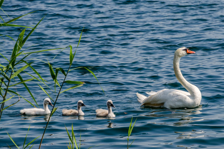 Animal Animal Themes Animals In The Wild Beauty In Nature Bird Day Floating On Water Lake Nature Nature No People Swan Swimming Togetherness Tranquil Scene Tranquility Water Water Bird Wildlife Zoology