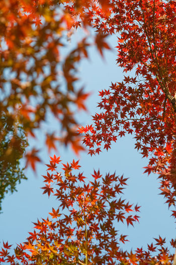 Autumn Plant Beauty In Nature Tree Change Plant Part Leaf Low Angle View No People Growth Orange Color Day Nature Branch Sky Tranquility Outdoors Close-up Maple Leaf Red Leaves Natural Condition My Best Photo