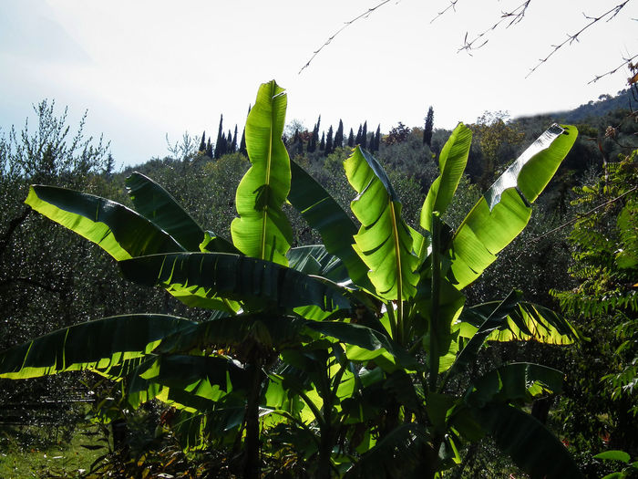 Agriculture Albero Banana Banana Tree Banana Tree Bananenbaum Banano Baum Beauty In Nature Day Green Color Growth Italia Italie Italien Italy Italy❤️ Italy🇮🇹 Low Angle View Nature No People Outdoors Plant Sky Tree
