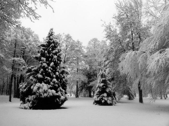 Snow Snowy Trees Trees Nature Black And White B&w Serene Winter Undisturbed Undisturbed Snow
