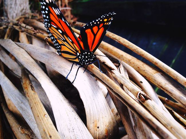Monarch Butterfly Insect Butterfly - Insect Animals In The Wild Animal Themes One Animal Animal Wildlife Butterfly No People Nature Day Outdoors Close-up Animal Markings Spread Wings Perching Fragility