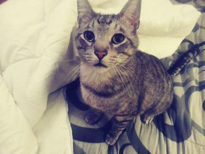 Domestic Cat Feline Domestic Animals Pets Whisker Portrait Mammal Kitten Close-up Maine Coon Cat Cute EyeEmNewHere EyeEm Selects
