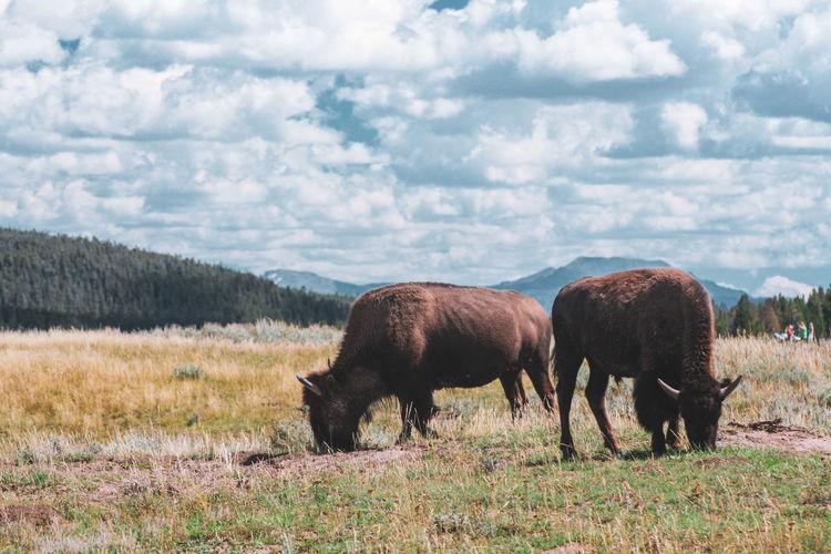 Wild buffalo walking around in field in yellowstone nationalpark
