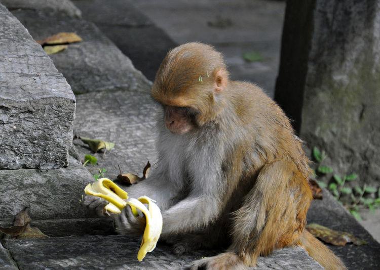 Full Length Of Monkey Holding Banana At Temple