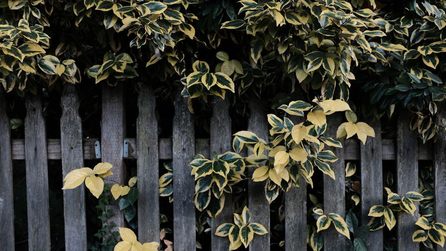 Barrier Beauty In Nature Boundary Close-up Creeper Plant Day Fence Fragility Green Color Growth Leaf Nature No People Outdoors Plant Plant Part Tree Vulnerability  Wood - Material Yellow
