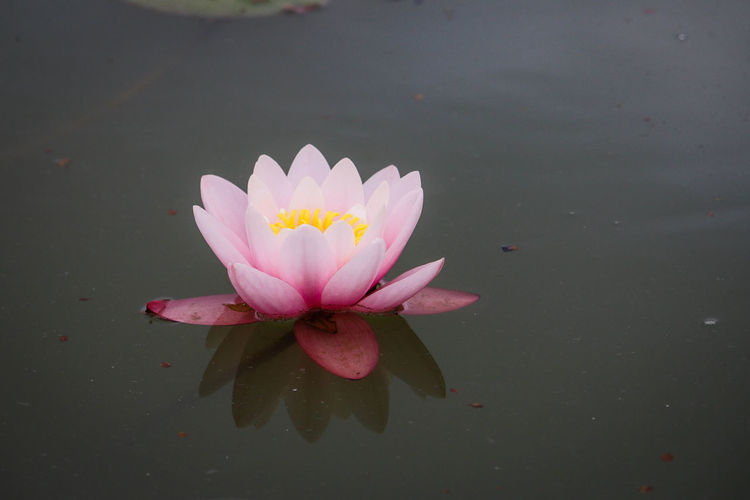 Taken at Glastonbury Pond Beauty In Nature Floating Floating On Water Flower Flower Collection Flower Head Flowering Plant Flowers Lily Pad Lily Pond Lotus Water Lily Petal Pink Color Plant Pollen Water Water Lily