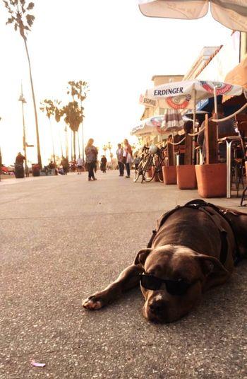 Chill Pitbull Beach Venice Beach Street Outdoors Animal Themes City Dog Day Relaxation Pets Palm Tree