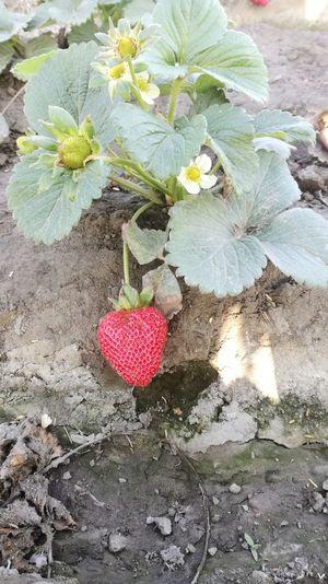 Fragaria Vesca Strawberry Plant Strawberry Agriculture Green Color Plant Nature Freshness No People Fresa Planta De Fresa