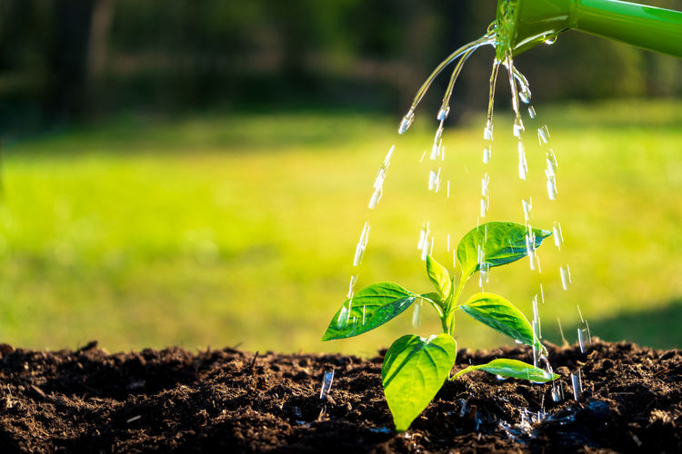 Young seedling watering in the soil with water can. Water drops falling onto new sprout on sunny day in the garden in summer Growth Plant Nature Focus On Foreground Green Color Land Water Plant Part Leaf Field No People Close-up Outdoors Day Beauty In Nature Seedling Sunlight Dirt Fragility Gardening Flowing Water Purity Soil Watering Watering Can