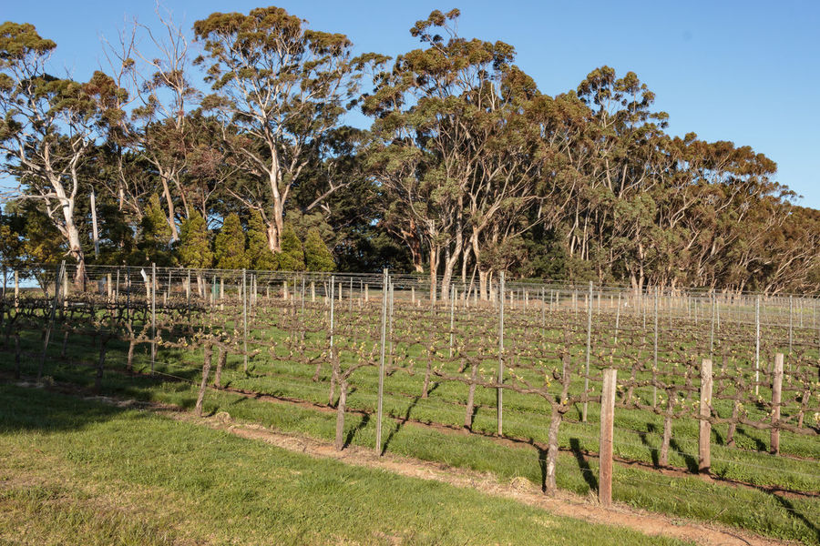 Tucks Ridge Estate, Red Hill, Mornington Peninsula, Australia. Banksia Growth Montalto Montalto Sculpture Prize Agriculture Barrier Environment Rural Scene Sculpture Springtime Tourism Tranquil Scene Tranquility Travel Destinations Winemaking