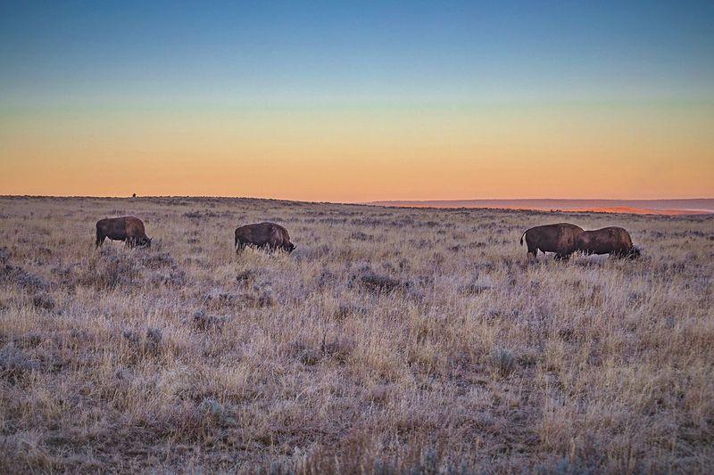 Bison grazing on grassy landscape against sky during sunset