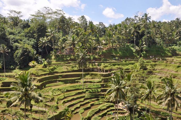 Ubud, Bali Nature Rice Paddy Growth Landscape Tranquility Outdoors Agriculture Field Bali, Indonesia Scenics Terraced Field Green Color Beauty In Nature Ubud Nature