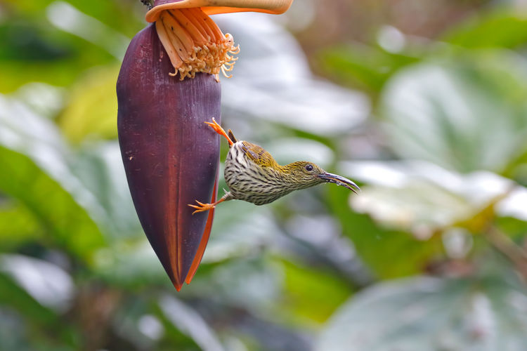 Streaked Spiderhunter Arachnothera magna Beautiful Birds of Thailand Animal Themes Animal Wildlife Animals In The Wild Animal Vertebrate Bird One Animal Focus On Foreground Plant Close-up No People Day Nature Perching Beauty In Nature Outdoors Plant Part Leaf Tree Selective Focus Streaked Spiderhunter