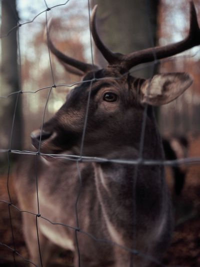 He is furry,soft and sweet. Also still trusts people. AlbertPark Antler Deer Dresden Fence Film Photography Furry Middleformat One Animal Xenar 3.5/75mm Animal Portrait