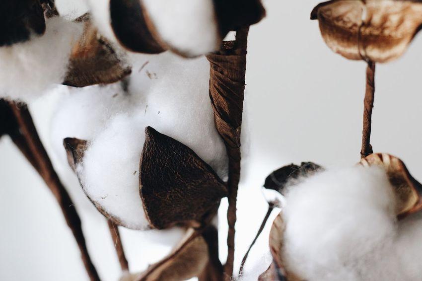 Cotton Plant Cotton Close-up White Color No People Indoors  Nature Plant