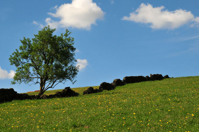 single tree on a hill next to a drystone wall with blue sky and clouds Field Tree Beauty In Nature Cloud - Sky Day Drystonewall Environment Field Grass Green Color Growth Land Landscape Nature No People Non-urban Scene Outdoors Plant Scenics - Nature Sky Springtime Tranquil Scene Tranquility Tree