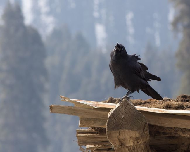 A call to Prey Bird Animal Themes Animal Vertebrate One Animal Animals In The Wild Animal Wildlife Perching Day Focus On Foreground Nature Wood - Material No People Architecture Outdoors Raven - Bird Built Structure Cloud - Sky Sky Low Angle View