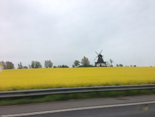 Rape Seed Fields Malmö Yellow Fields and purple pills