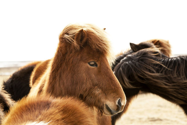 Horses Iceland Iceland Memories Iceland Pony Icelandic Horses Ponies Pony Travel Travel Photography Traveling Animals Domestic Animals Horse Iceland Trip Iceland_collection Riding Horses Travel Destinations