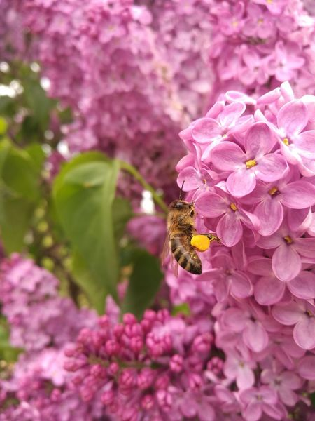 Bee Flower Pink Color Nature Beauty In Nature Insect Bee Growth Freshness Pollination Yellow Collecting Nectar Flower Head Close-up Outdoors No People Animal Themes Plant