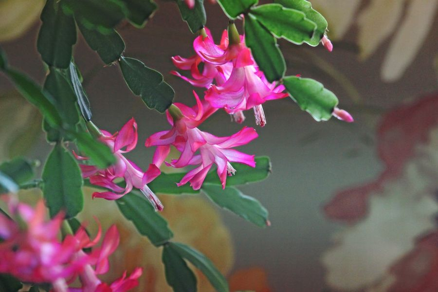 Christmas cactus, late bloomer, flowers, plants, Check This Out Hello World Relaxing Enjoying Life Open Edit For Everyone Bluffton Sc, Flowers,Plants & Garden Everyday Joy