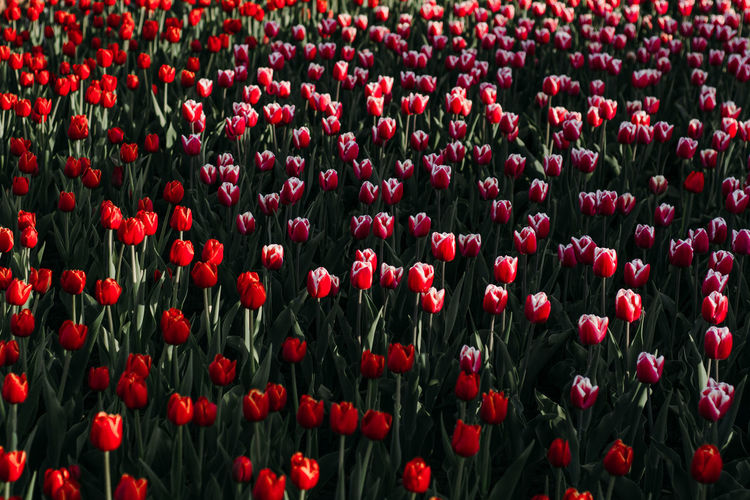 red tulips Red Flower Flowering Plant Plant Beauty In Nature Growth Tulip Fragility Vulnerability  Freshness Abundance Backgrounds Full Frame Nature No People Land Flower Head Petal Field Close-up Outdoors Poppy Flowerbed Gardening