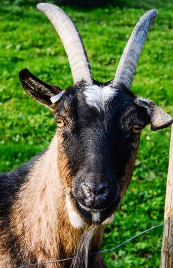 Goat ... Goat Animal Themes Animal One Animal Close-up Mammal Animal Body Part Vertebrate No People Day Grass Field Animal Wildlife Animal Head  Plant Portrait Nature Land Focus On Foreground Looking At Camera