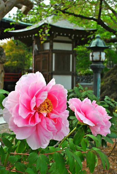 Architecture Beauty In Nature Blooming Building Exterior Built Structure Close-up Day Flower Flower Head Focus On Foreground Fragility Freshness Garden Growth Japan Nature No People Outdoors Peony  Petal Pink Color Plant Temple Zinnia  The Great Outdoors - 2017 EyeEm Awards Neighborhood Map Postcode Postcards