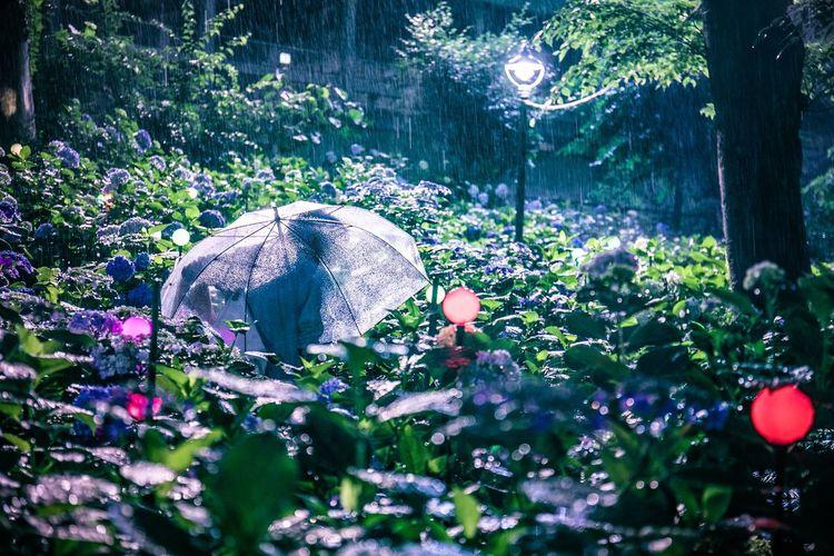 週末は雨・・・どころか台風ですな。豪雨の日こそ紫陽花がおすすめ、気力だそうぜ。 Plant Tree Growth Nature Beauty In Nature Day No People Outdoors Land Sunlight Green Color Focus On Background Flower Selective Focus Transparent Flowering Plant Forest Trunk Tree Trunk Security