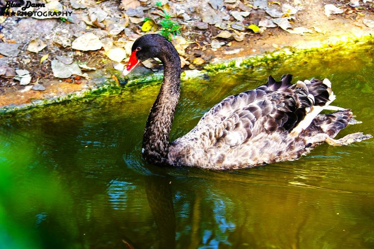 EyeEm Nature Lover BlackSwan Beautifulcreature Check This Out Free Like A Bird Professional Photographer Bluedawnphotography Vibrant Colors Zoophotography Nature_collection Birds Of EyeEm  Birds🐦⛅