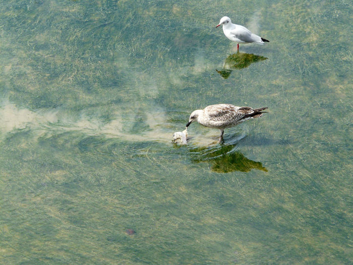 Sea birds scene walking in the water drag Play with fish or plastic one young gull one seabird looking to another bird birds non urban scene Animals in the Wild group of animals water bird theme high angle view Green color water level green algaes algues algues verte mouette rieuse Water mirror se Walking In The Water Drag Play With Fish Or Plastic One Young Gull One Seabird Looking To Another Bird Birds Non Urban Scene Animals In The Wild Group Of Animals Water Bird Theme High Angle View Green Color Water Level Green Algaes Algues Algues Verte Mouette Rieuse Water Mirror Sea Birds Photography End Plastic Pollution Plastic Environment - LIMEX IMAGINE
