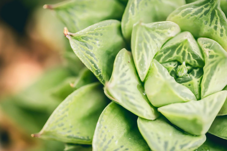 """Tasty """"lettuce"""" succulent Beauty In Nature Botany Close-up Day Extreme Close-up Fragility Freshness Full Frame Green Color Growth Leaf Macro Nature Outdoors Plant Purity Selective Focus Soft Focus Springtime Succulents Vegetable Maximum Closeness"""