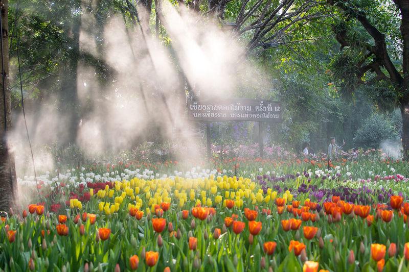 Close-up of fresh tulip flowers in garden