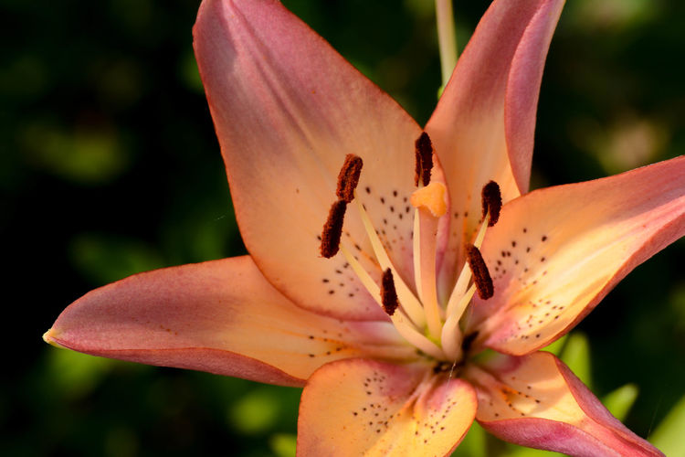 Close-up Closeup Flower Lily Multi Colored Orange Color Powell Gardens Stamen