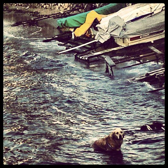 Dog FUNNY ANIMALS Dog Swimming EyeEm Animal Lover