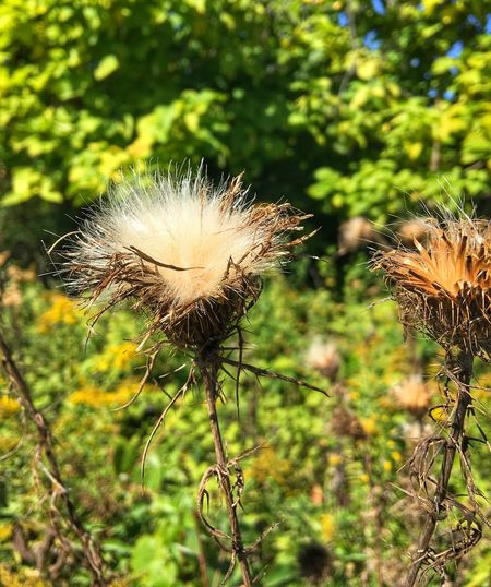 Nature Growth Flower Plant Fragility Day Focus On Foreground Beauty In Nature Thistle Seed No People Outdoors Flower Head Close-up Freshness Cereal Plant